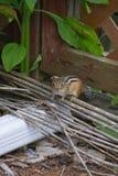 Nettes neugieriges kleines gestreiftes Streifenhörnchen Lizenzfreie Stockfotos