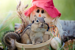 Nettes Oststreifenhörnchen im Korb in einer Herbstsaisonszene Lizenzfreie Stockfotografie