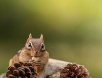 Nettes Oststreifenhörnchen isst eine Nuss Stockfotos