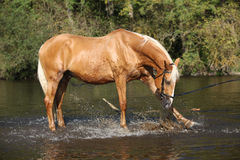 Nettes Palomino warmblood, das im Wasser spielt Lizenzfreie Stockfotografie