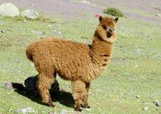 Nettes pelzartiges braunes Alpakaporträt stockfoto