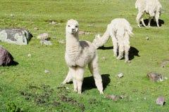 Nettes pelzartiges kleines weißes Alpaka lizenzfreies stockfoto