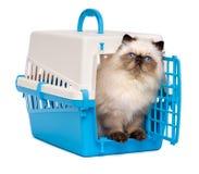 Nettes persisches colourpoint Kätzchen, das heraus von einer Haustierkiste schaut Lizenzfreies Stockfoto