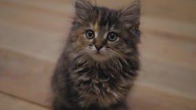 Nettes persisches Kätzchen zu Hause Neugieriges graues Kätzchen Kleines Haustier stock video footage