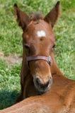 Nettes Pferden-Stillstehen Lizenzfreie Stockbilder