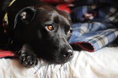 Nettes pitbull Stockfoto