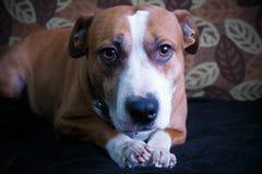 Nettes pitbull, das auf das Sofa legt Stockbild