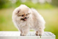 Nettes Pomeranian, das auf der Pflegentabelle steht Stockbild