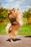 Nettes pomeranian Hundespielen Stockbild