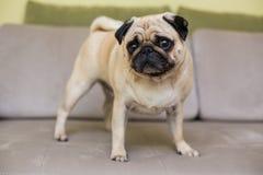 Nettes Pughündchen auf Sofa lizenzfreie stockfotos