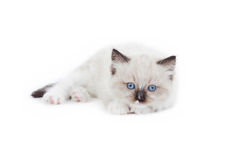 Nettes Ragdoll-Kätzchen Lizenzfreies Stockfoto