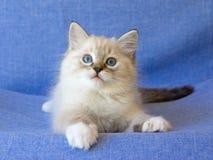 Nettes Ragdoll Kätzchen auf blauem Hintergrund Stockbild