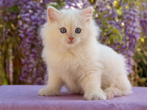 Nettes Ragdoll Kätzchen, das vor Blumen sitzt Stockfoto