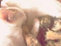 Nettes reizendes weißes Kätzchen und getigerte Katze sind genossenes Saugen des warmen Stillens der Mama Lizenzfreie Stockfotos