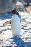 Nettes Rockhopper-Pinguin-Porträt Stockfotos