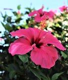 Nettes rosa ibiscus Lizenzfreie Stockfotos