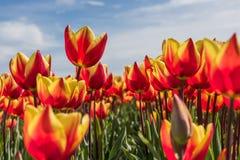 Nettes Rot mit gelben Tulpen auf einem Gebiet Stockfotografie