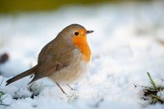 Nettes Rotkehlchen auf Schnee im Winter Lizenzfreie Stockbilder