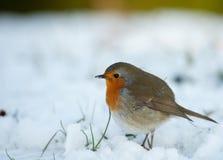 Nettes Rotkehlchen im Winter Stockfotografie