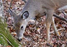 Nettes Rotwild isst die Blätter vom Boden Lizenzfreie Stockfotografie