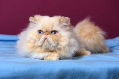 Nettes Sahne-colorpoint persische Katze liegt auf einer blauen Bettdecke lizenzfreie stockfotos