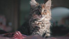 Nettes schönes Kätzchen zu Hause Neugieriges graues Kätzchen Kleines Haustier stock footage