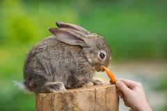 Nettes schüchternes Baby-Kaninchen Fütterungstier Lizenzfreie Stockfotos