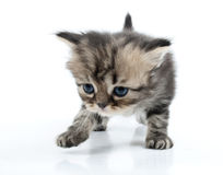 Nettes schottisches gerades Kätzchen, das sich entlang bewegt Lizenzfreies Stockfoto