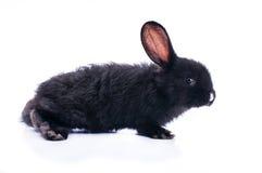 Nettes schwarzes Kaninchen, das grünen Salat isst Lizenzfreie Stockfotos