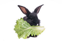 Nettes schwarzes Kaninchen, das grünen Salat isst Stockfotos