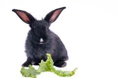 Nettes schwarzes Kaninchen, das grünen Salat isst Stockbilder