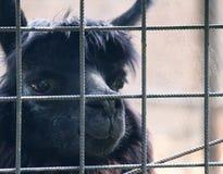Nettes schwarzes Lama, das hinter Zaun Zoo betrachtet Stockbilder