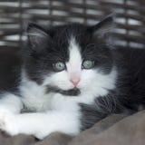 Nettes Schwarzweiss-Kätzchen Stockfoto