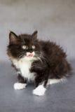 Nettes Schwarzweiss-Kätzchen mit der Zunge Stockfotos