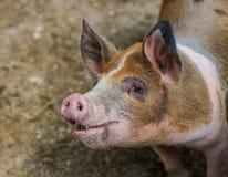 Nettes Schwein Lizenzfreies Stockfoto