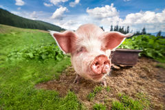 Nettes Schwein, das an der Sommerwiese an der Gebirgsweide weiden lässt Lizenzfreie Stockfotografie
