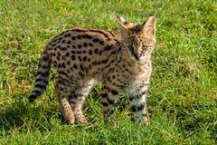 Nettes Serval-Kätzchen, das auf Gras steht Stockfoto