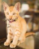 Nettes shorthair Kätzchen mit Kragen und Glocke, Thailand Lizenzfreie Stockbilder