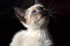 Nettes siamesisches Kätzchen Lizenzfreie Stockfotografie