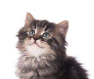 Nettes sibirisches Kätzchen stockbild