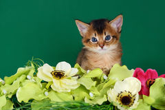 Nettes somalisches Kätzchen auf dem grünen Hintergrund Lizenzfreie Stockfotos