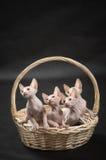 Nettes sphynx vier Kätzchen Stockfoto
