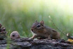 Nettes Streifenhörnchen bewegt vorsichtig sich in eine niedrige Position in einer Waldlandfallsaisonszene Lizenzfreie Stockbilder