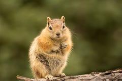 Nettes Streifenhörnchen wohlgenährt auf Nüssen und Samen Lizenzfreie Stockfotografie