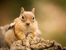 Nettes Streifenhörnchen wohlgenährt auf Nüssen und Samen Stockfoto