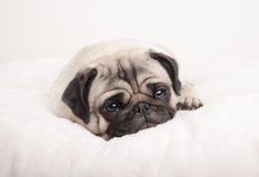Nettes trauriges kleines Pughündchen, liegend unten, schreiend auf flockiger Decke Lizenzfreies Stockfoto