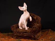 Nettes unbehaartes Sphynx Kätzchen auf braunem Stuhl lizenzfreie stockfotografie