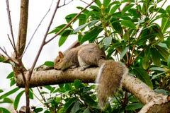 Nettes und Pelzeichhörnchen, das oben einen Baum klettert Stockbild