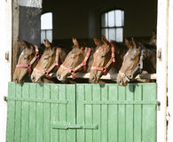 Nettes Vollblut fohlt im Stall Stockbilder
