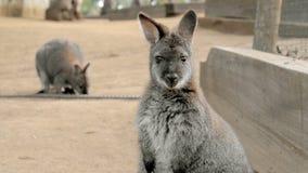 Nettes Wallaby, das mit verwirrtem Gesicht anstarrt Lizenzfreie Stockfotografie